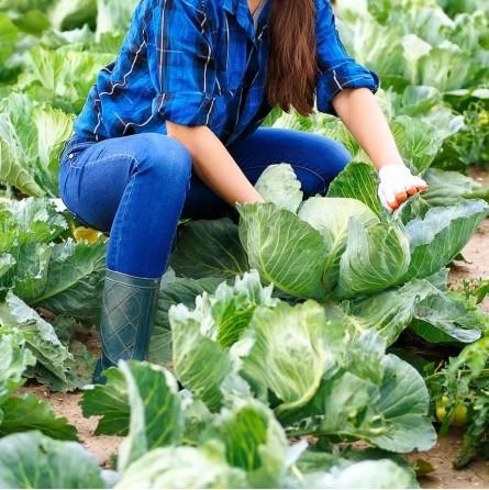 Ordina ora il cavolo cappuccio bianco Almaverde Bio su Fruttaweb.com!