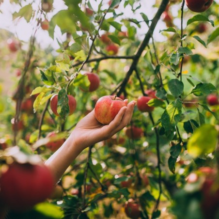 Varietà e pianta mele Gala Biologiche | FruttaWeb.com