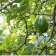 Avocado Hass - 1 fruit