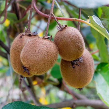 Pianta di Kiwi Hayward biologici Almaverde Bio