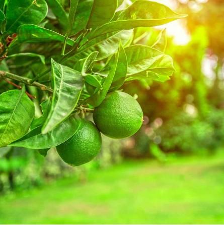 Pianta Lime Biologico Almaverde Bio