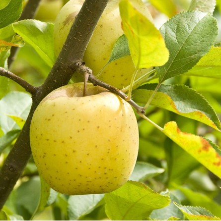 Albero di mele golden Almaverde Bio | FruttaWeb.com