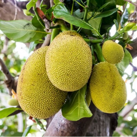 Pianta di Jackfruit fresco vendita online | FruttaWeb.com