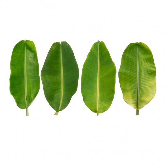 Banana leaves - pack of 500 gr
