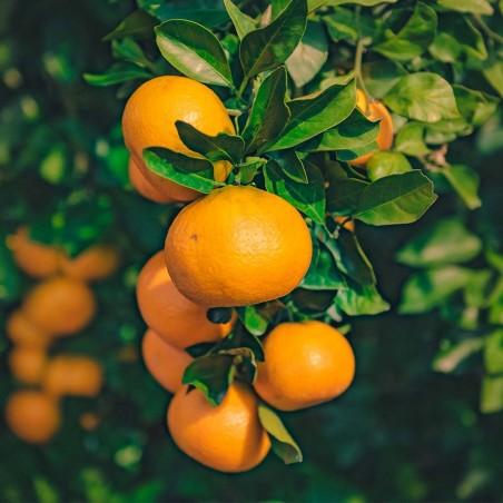 Albero di mandarini Biologici Almaverde Bio su FruttaWeb.com