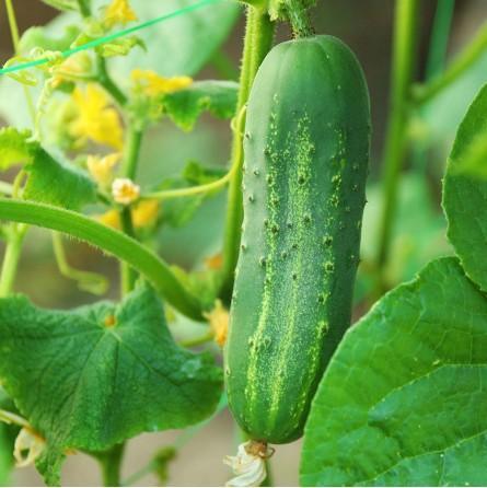 Cetrioli Biologici Almaverde Bio: ordinali su FruttaWeb.com