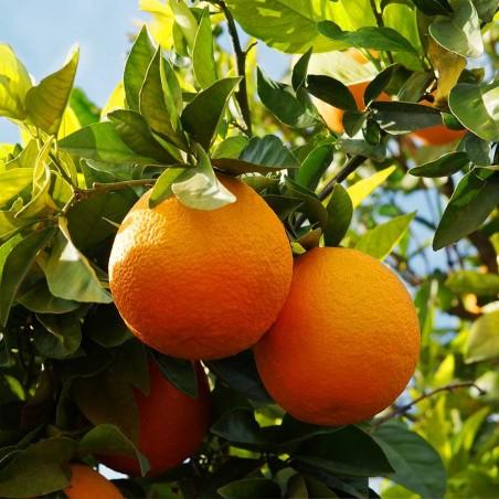 Abero di arancia Tarocco Biologica Almaverde Bio: Acquista Online su FruttaWeb.co