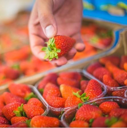 Fragole fresche Biologiche, origine e coltivazione