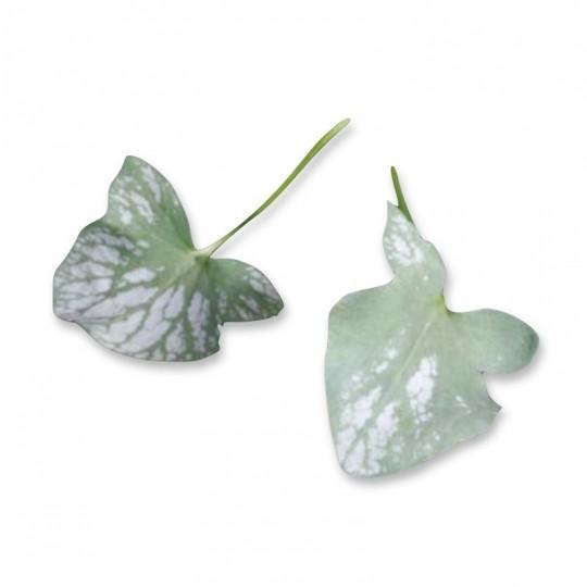 Foglie di Syrha 25 foglie