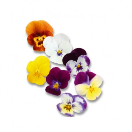Cornabria Blossom 50 flowers