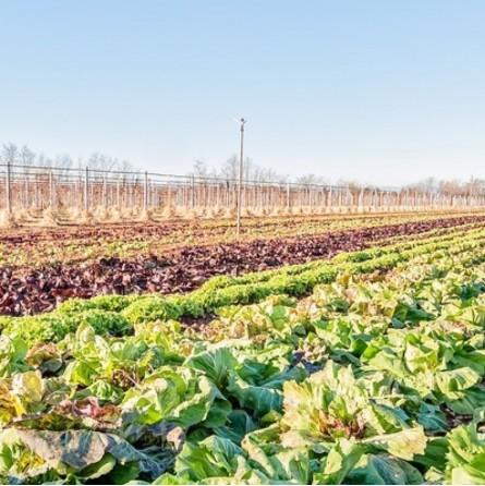 Radicchio rosso biologico Almaverde Bio - acquista online su FruttaWeb coltivazione