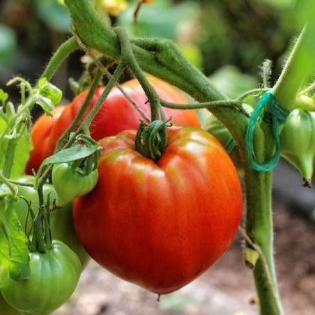 Pomodoro cuore di bue Almaverde Bio - acquista online su FruttaWeb pianta
