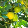 Coltivazione di Limoni Biologici Freschi in Sicilia