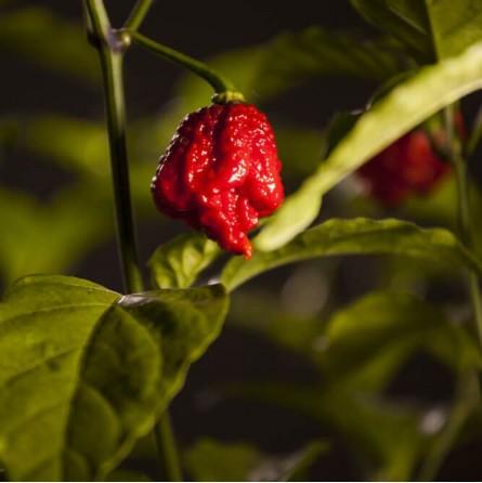 Peperoncino Carolina Reaper: fresco e naturale
