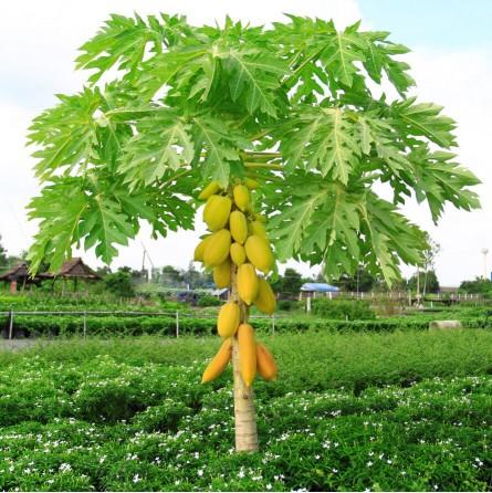 "Papaya fresca ""Pronto da mangiare"", via aerea pianta"