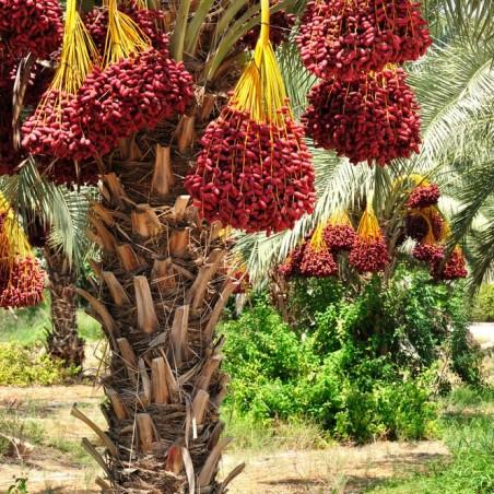 Datteri freschi Hayani Jumbo: disponibili su FruttaWeb.com