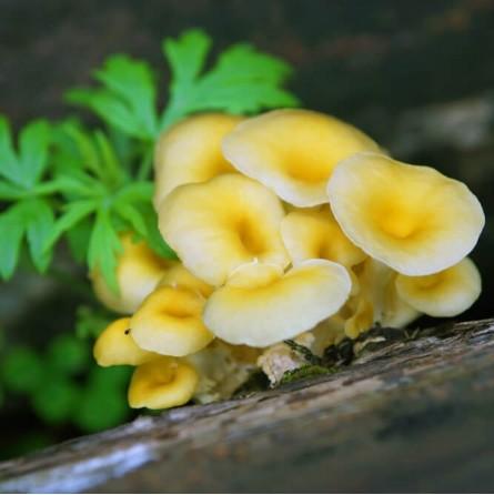 Funghi Oyster golden freschi (Pleurotus Citrinopileatus): Acquista Online su FruttaWeb.com