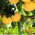 Pompelmo Bianco - 1 frutto coltivazione albero