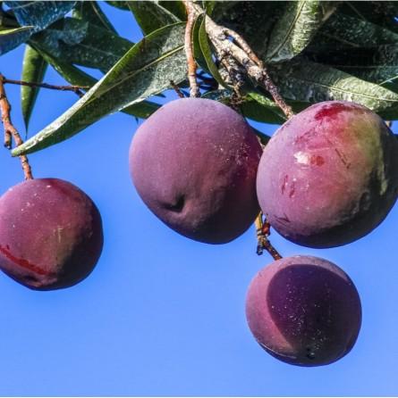 Pianta Mango Tommy Atkins Acquista Online FruttaWeb.com
