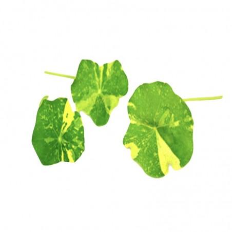 Foglie di Alaska Nasturtium Cresco Acquista online su fruttaweb.com
