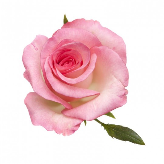 Rose Commestibili Acquista Online Fiori Commestibili