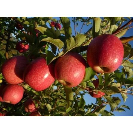 Mele Pink Lady®: Acquista Online su FruttaWeb.com