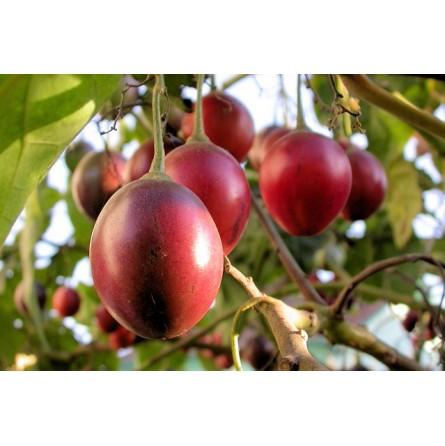Tamarillo - 3 frutti