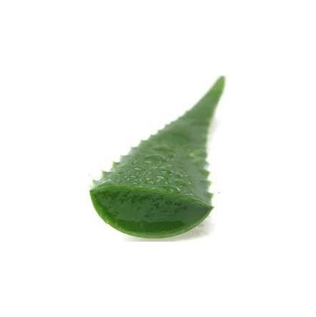 Aloe vera - foglie fresche - 1 kg
