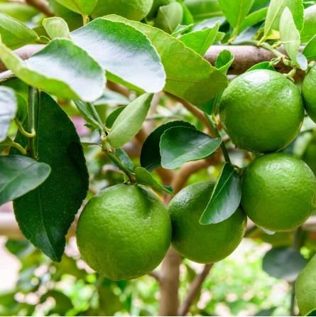 Cassetta di Lime Siciliano Figaro Acquista Online su FruttaWeb.com