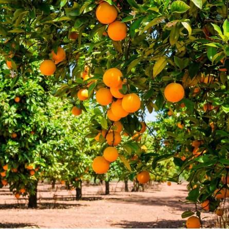 Arance Valencia fresche in vendita online su FruttaWeb.com