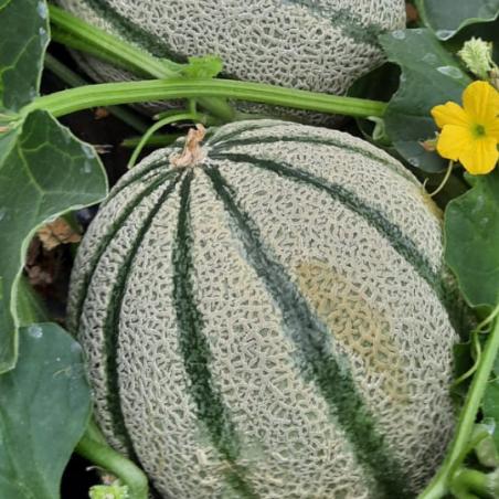 Melone Biologico Almaverde Bio in vendita su FruttaWeb.com