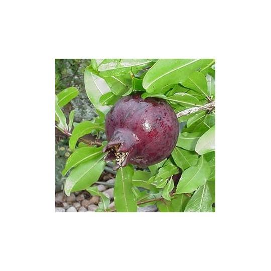 Melograno nero - 1 frutto: acquista online su FruttaWeb.com
