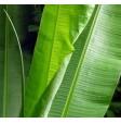 Banana leaves - pack of 500 gr