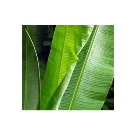 Foglie di banana - confezione da 500 gr