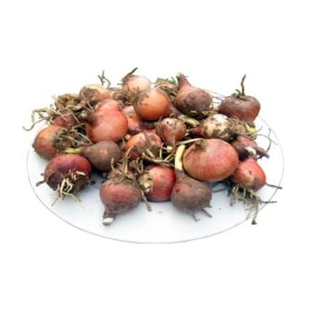 Lampascioni: acquista online la cipolla selvatica su FruttaWeb.com
