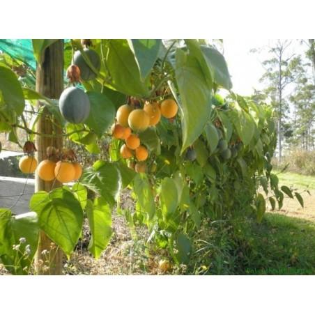 Granadilla: Acquista Online con un Click su FruttaWeb.com