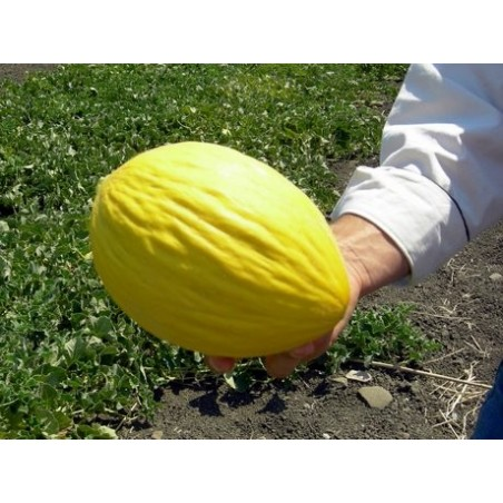 """Melone """"Gialletto"""": Acquista Online con un Click su FruttaWeb.com"""
