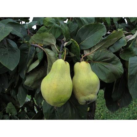 Membrillo (pera Cotogna): acquista online su FruttaWeb.com