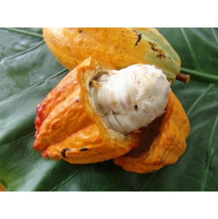 Frutto di cacao (Cacao fresco) Sudamericano: Acquista Online con un Click su FruttaWeb.com