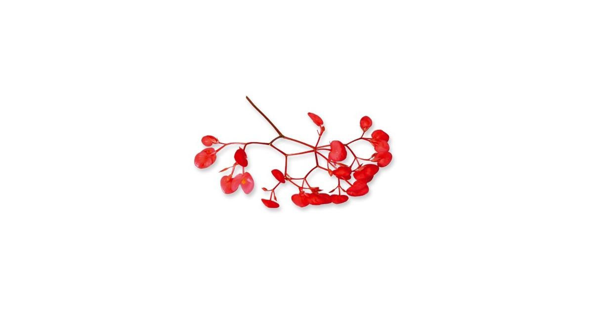 Fiori di mela (Apple Blossom) 100 fiori