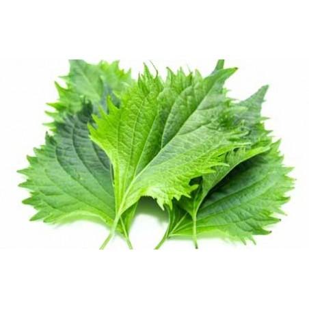 Foglie di shiso verdi 30 foglie