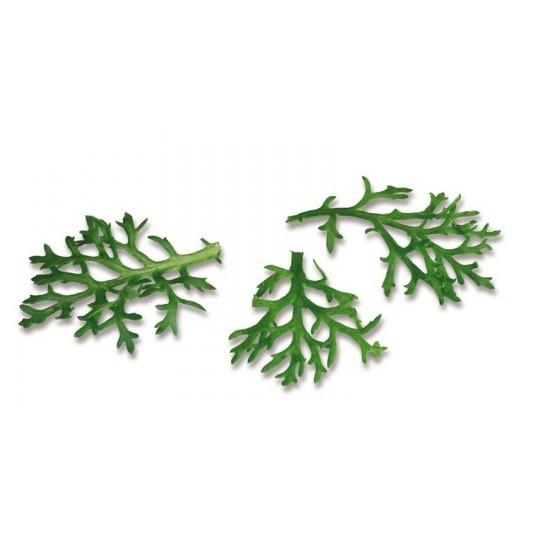 Kikuna leaves 25 leaves