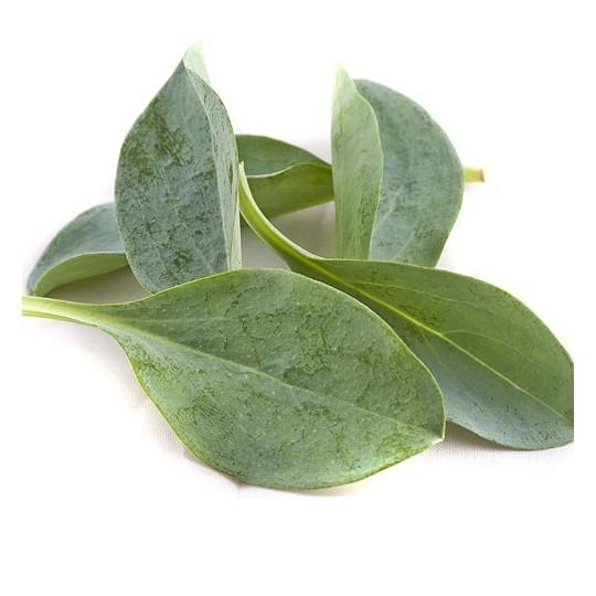 Foglie di Oyster 50 foglie