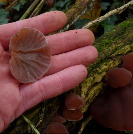 Funghi Orecchie di Giuda freschi: Acquista Online su FruttaWeb.com