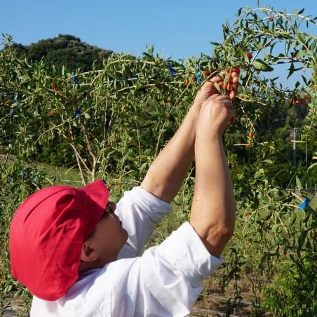 Coltivazione di Bacche di Goji Fresco Italiano in Calabria