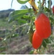 Primo Piano sulle Bacche di Goji Fresco Italiano. Superfood Naturale Biologico dalle infinite proprietà benefiche