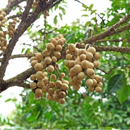 Long Kong: acquista online su FruttaWeb.com