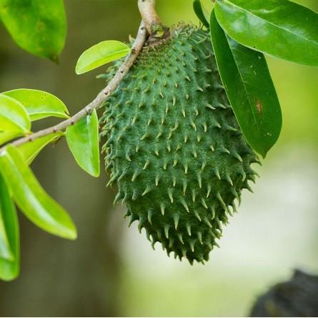 Graviola fresca, pianta guanabana