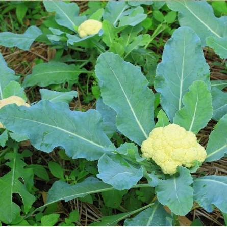 Cavolfiore in biologico almaverde bio!