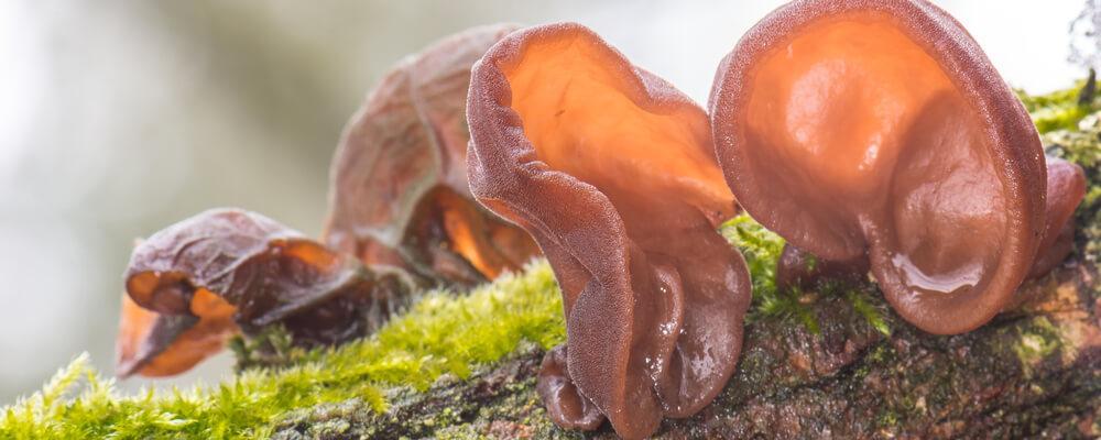 funghi orecchie di giuda acquista online fruttaweb